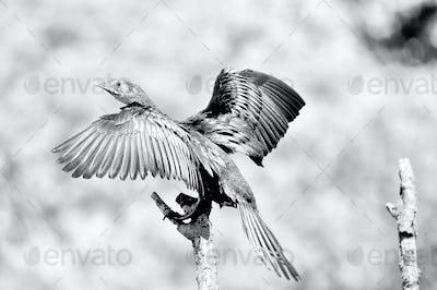 Monochrome Reed Cormorant