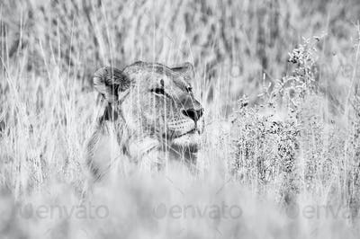 Monochrome hiding lion