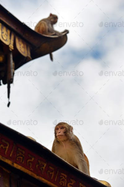 Macaque monkeys sitting on the the roof of the Swayambhunath stupa in Nepal