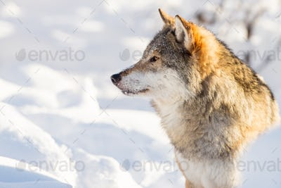 Close-up portrait of wolf in beautiful winter landscape