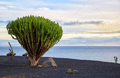 cactus tree in Lanzarote, Canary Islands, Spain