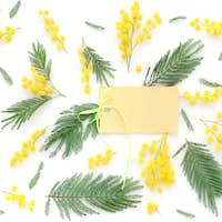 Mimosa flowers on white background with blank card to greet. Top