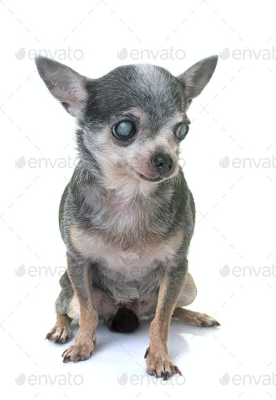 chihuahua with cataract
