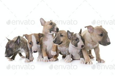 group of miniature bull terrier