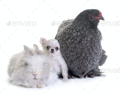 brahma chicken, bunny and puppy chihuahua