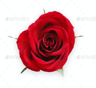Red opened rose bud isolated on white top view