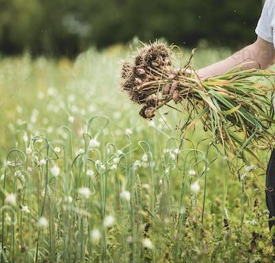Handful of Freshly Picked Garlic in the Field