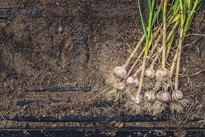 Freshly Picked Garlic Bulbs on Soil and Dirt