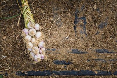 Freshly Picked Braided Garlic Bulb on Soil and Dirt