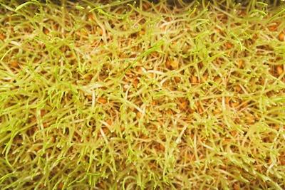 Organic growing micro greens closeup, top view
