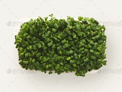Micro greens growing in plastic bowl top view, isolated