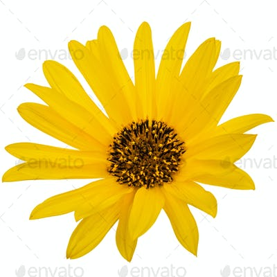 One yellow flower, isolated on white background