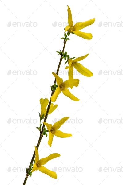 Flowers of forsythia, isolated on white background