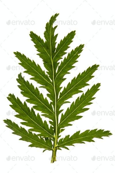 Leafs the medicinal plant of tansy, lat. Tanacetum vulgare, isol