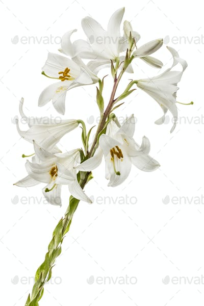 Flower of white lily, isolated on white background