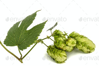 Cones and leaves of hops, lat. Humulus, isolated on white backgr