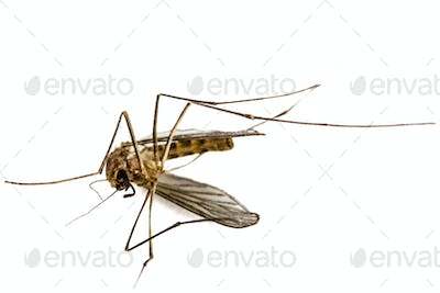 The dead mosquito,  isolated on white background
