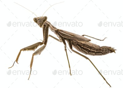 Mantis ordinary or mantis religious, isolated on white backgroun