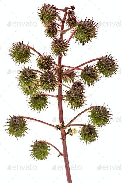 Fruit of ricinus communis close-up. isolated on white background