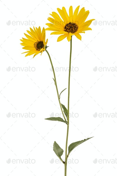 Two yellow flowers, isolated on white background