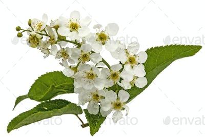 Flowering  of bird cherry tree, isolated on white background