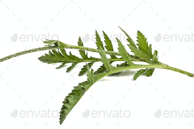 Leafs of poppy, lat. Papaver, isolated on white background