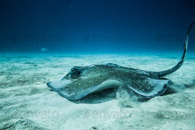 Common Stingray on the ground of the ocean.