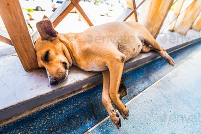Homeless Tired small dog lying and sleeping in Caribbean airport