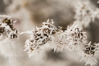 Hoarfrost on the seeds.