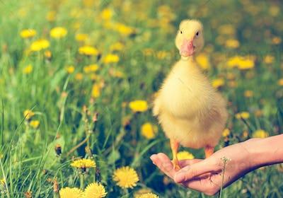Little yellow duckling