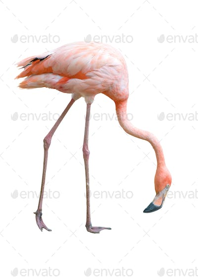 flamingo bird isolated