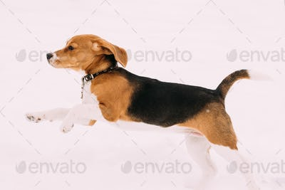 Beautiful Funny Puppy Of English Beagle Playing Fast Running In