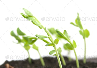 plant peas and soil