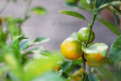 orange on planted