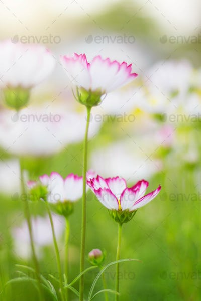 White cosmos with green nature