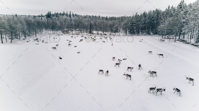 Aerial view of reindeer herd in winter Lapland Finland