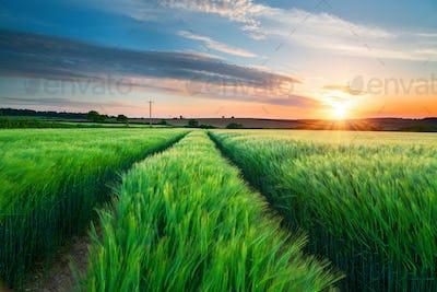 Barley Field in Cornwall