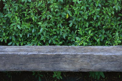 Old wooden bench with green leaf background
