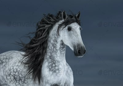 Gray long-maned Andalusian Horse