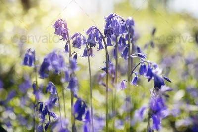 Bluebells in spring forest