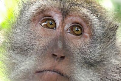 Monkey looking around. Wild nature of Bali, Indonesia