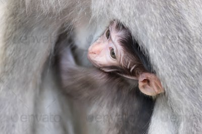 Cute baby monkey hiding and sucking mother's chest