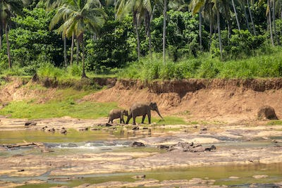 Adult and baby asian elephants crossing river