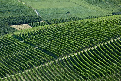 Green vineyards on hill in a sunny day in Italy