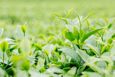Green tea with blurry background