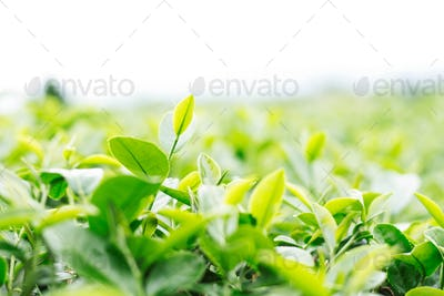tea leaves with a white background