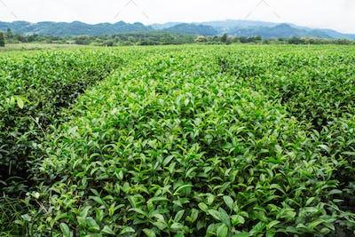 Tea plantation with green nature