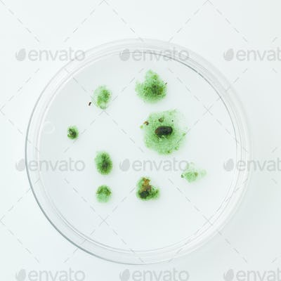 green incipient stage mold in petri dish