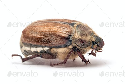 Cockchafer, or may bug