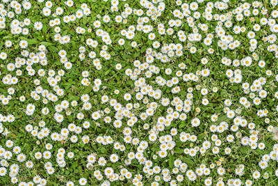 background of daisy flowers